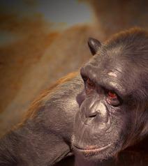 chimpanzee-400332_640