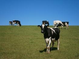 cows-73371_640